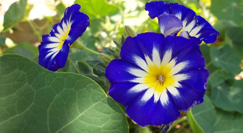 mejores flores hermosas para regalar convolvulus tricolor