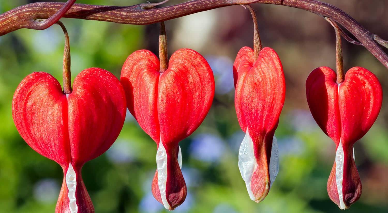 mejores flores hermosas para regalar corazon sangrante