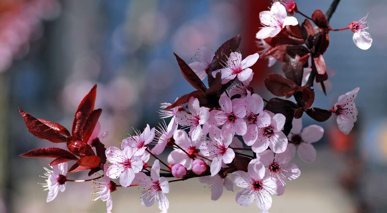 mejores flores hermosas para regalar flor cerezo