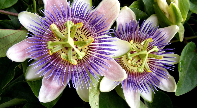 mejores flores hermosas para regalar flor pasion