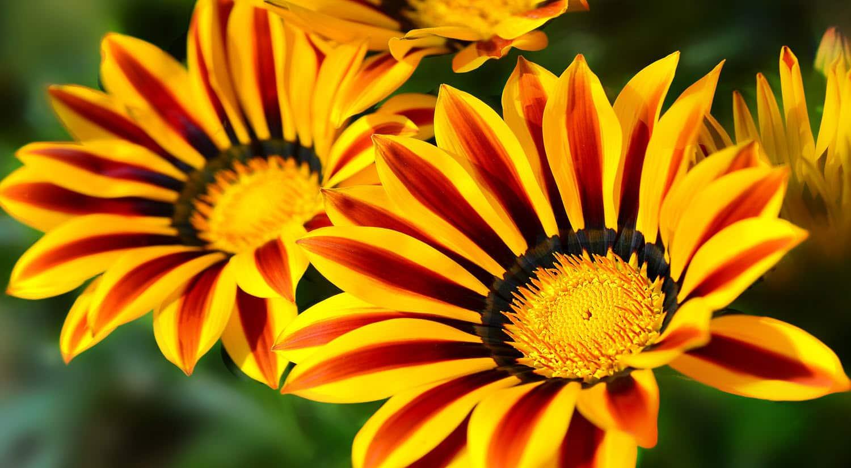 mejores flores hermosas para regalar gazania