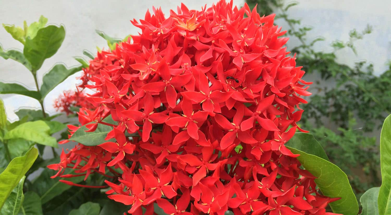 mejores flores hermosas para regalar ixora