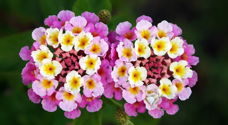 mejores flores hermosas para regalar lantana