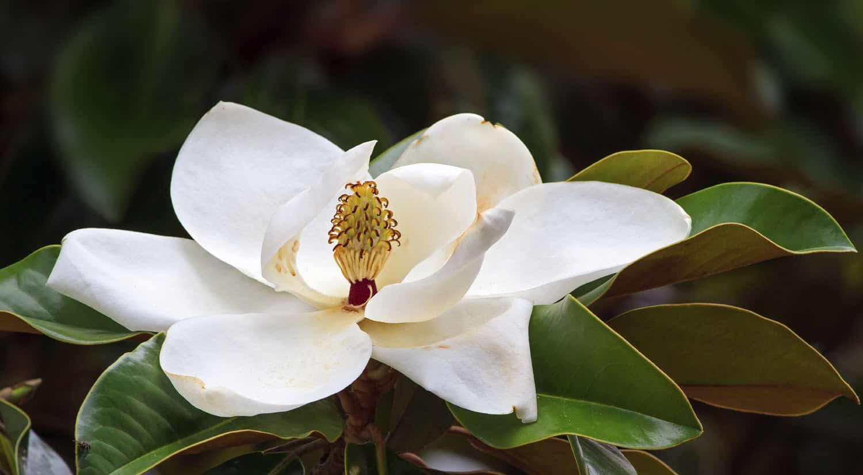mejores flores hermosas para regalar magnolia