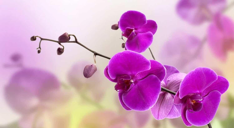 mejores flores hermosas para regalar orquidea