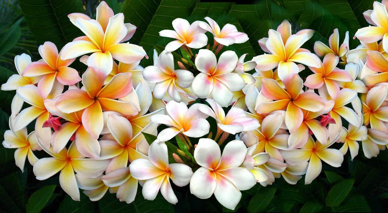 mejores flores hermosas para regalar plumeria