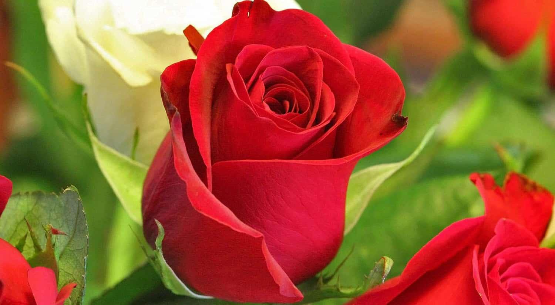 mejores flores hermosas para regalar rosa