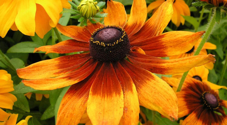 mejores flores hermosas para regalar rudbeckia bicolor