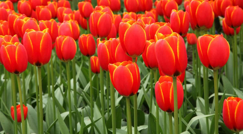 mejores flores hermosas para regalar tulipan