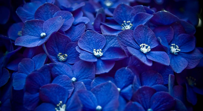 mejores flores hermosas para regalar hortensia