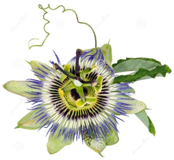 productos naturales frenar la eyaculacion precoz flordelapasion