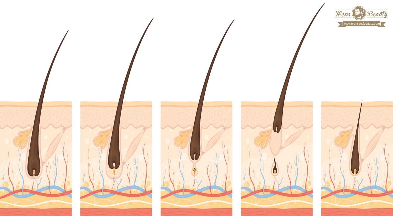 fases del crecimiento de la barba anagénica catagénica telogénica